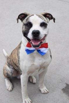 ●8•1•16 STILL THERE●Brooklyn Center OSIRUS – A1083179 MALE, BR BRINDLE / WHITE, AM PIT BULL TER MIX, 3 yrs STRAY – STRAY WAIT, NO HOLD Reason STRAY Intake condition EXAM REQ Intake Date 07/29/2016, From NY 11221, DueOut Date 08/01/2016,