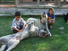 Anatolian Shepherds doing what they do 2nd best - loving children