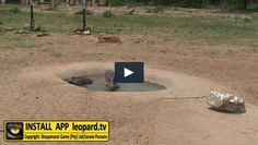 Warthogs are not dependent on surface water; however, when water is available they will drink regularly. Read more about warthogs and watch the video! Tv Videos, Wildlife, Africa, Surface, Drink, Watch, Beverage, Clock, Bracelet Watch
