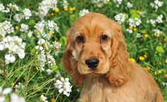 This Cocker Spaniel loves the outdoors!... Fetch more cute pinworthy dogs by clicking on this pic