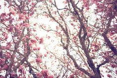 Spring - photography - tulip tree - pink - art - flowers - nature - natural lighting -