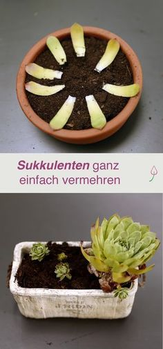 Pflanzen - DIY Succulents, e. Houseleek, simply multiply The Pros and Cons of Ceiling Speakers Off Small Gardens, Outdoor Gardens, Amazing Gardens, Beautiful Gardens, Avocado Tree, Hydrangea Care, Design Jardin, Water Features In The Garden, Hydroponic Gardening