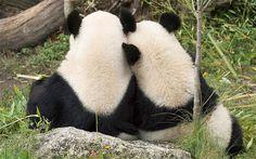 bpf best pandas forever