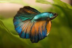 Halfmoon turquoise and gold Betta Fish