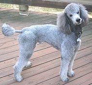 Poodle Kennel Clip | poodle dog - nonsporting dog breeds from the online dog encyclopedia ...