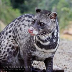 Malay Civet,Viverra tangalunga. A civet is a small, lithe-bodied, mostly nocturnal mammal w 12 species, native to tropical Asia & AF, especially the tropical forests. Most of the species diversity is found in SE Asia. The best-known civet species is the African Civet, Civettictis civetta, which historically has been the main species from which was obtained a musky scent used in perfumery. The word civet may also refer to the distinctive musky scent produced by the animals