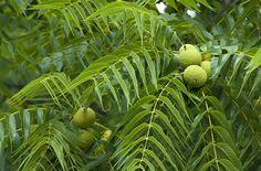 Juglans Nigra | Black Walnut http://www.missouribotanicalgarden.org/PlantFinder/PlantFinderDetails.aspx?kempercode=a875