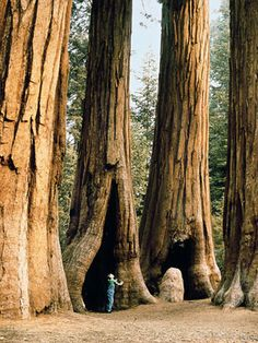 California's Sequoia National Park is home to some of the biggest trees on the planet. The largest measured sequoia is nearly 275 feet meters) tall and more than 100 feet meters) around. ROAD TRIP anyone! They are so gorgeous! Family Road Trips, Road Trip Usa, Family Travel, Oh The Places You'll Go, Places To Travel, Places To Visit, Sequoia National Park California, California Usa, Northern California