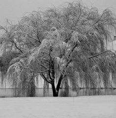 Continued in Comments: A Weeping Willow in Winter by Eavan Diedre (JDR) The secret keeper, the story teller and all my scars show. Just like you I cry and bleed and no one sees the true frailty of my aging bones. My whispers are softly heard through every wind that blows. No shade you will find below, whether at the light of day or as the Moon is above. Left untouched, I stand alone by the sea and my roots run deep, my limbs so very cold. Though at the heart of me is a warmth unknown to…