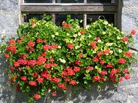 Jak pěstovat muškáty: zimování, jarní ošetření, řízkování, hnojení Container Gardening, Pesto, Backyard, Outdoor Structures, Landscape, Plants, Czech Republic, Flowers, Yard