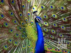 BeautifulPeacockPicturesjpg Pixels Gods Creations - Flying peacocks look like mythical creatures