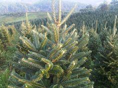 Balsam Fir's have a strong long lasting aroma making it a Christmas Time Favorite! Christmas Countdown, Christmas Time, Fresh Cut Christmas Trees, Balsam Fir, Cactus Plants, Christmas Decorations, Strong, Cacti, Christmas Decor