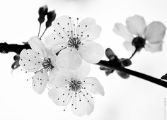 Cherry Blossom by Joseph Qiu on 500 px