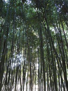 bosque de bambú Plant Leaves, Plants, Woods, Impressionism, Flora, Plant, Planting