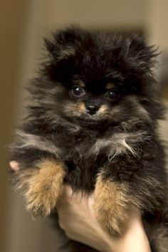Hudson the Pomeranian. We are parents to 3 black/tan Poms! Partial to those black/tans!  Cute!