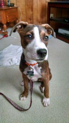 Williston Park, NY - Jack Russell Terrier/Boxer Mix. Meet ...