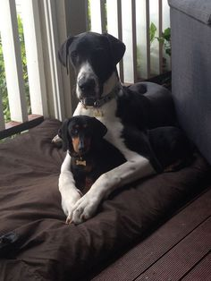 Great Dane & Dachshund Bentley & Mojo look how cute they are together! Dachshund Breed, Long Haired Dachshund, Dachshund Love, Daschund, I Love Dogs, Cute Dogs, Memes Humor, Dane Puppies, Doggies