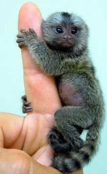 The Finger Monkey is one of the smallest primates, and the smallest true monkey, with its body length ranging from 14 to 16 cm (5.5 to 6.3 in). Adorable!