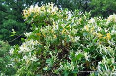 Invasive Species Environmental Impacts: Japanese Honeysuckle: Lonicera japonica