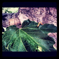 Caterpillar on a tree leaf