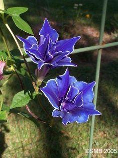 Japanese Morning Glory 'Double Blue Picotee'
