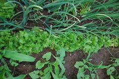 mistura na horta de cebola, alface, feijão e milho