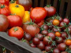 Tomates bio, marché Slow Food à Fiskars © Cookismo