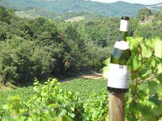 Parcelle du Clochers de Loupia à Limoux, un chardonnay exceptionnel