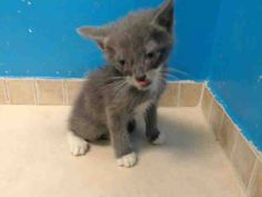 TO BE DESTROYED 9/14/13 Brooklyn Center  My name is LESLIE. My Animal ID # is A0978557. I am a male gray and white domestic sh mix. The shelter thinks I am about 4 WEEKS old.  I came in the shelter as a STRAY on 09/10/2013 from NY 11435, owner surrender reason stated was STRAY. I came in with Group/Litter #K13-152820. https://www.facebook.com/photo.php?fbid=663189770359525&set=a.576546742357162.1073741827.155925874419253&type=3&theater