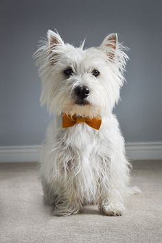 My Westie, Ernie. I love my doggy! #Westie #WesthighlandTerrier www.chelseamarlene.blogspot.com