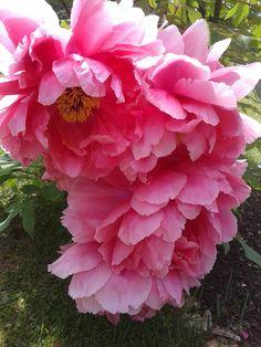 Rose. Pink. Nature. Spring