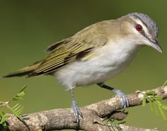 #72 Red-eyed Vireo, 5/17/15 Tawasentha Park