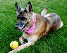 "Cozma wearing ""Polka Dot Pup in Pink"" bandana Saving lives.  www.caninelove.ca"