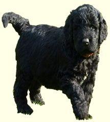 24 Best Newfypoo Images Doggies Dogs Newfoundland