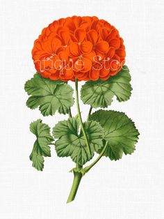 Red Flowers Image 'Horse-shoe Pelargonium' Digital Download Botanical Geranium Illustration for Scrapbooking, Crafts, Wedding Invitations... by AntiqueStock on Etsy