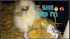 She Did It!: Urban Gardening Urban Homesteading Grow Your Own Food How To Garden;Operation Moving Broody Silkie Mama was a complete success! Check out all her new babies and at how great of a mama Miss Pauletta is! Thank you for following along on our journey! Enjoy & thanks for watching! xo Like Share Comment & Share with friends!    Magicfly Incubator: http://amzn.to/2iCgD5N  Magicfly Egg Candler:http://amzn.to/2jwaqqd  afflink  Old Timer's Cough Syrup Vid:http://bit.ly/2kxK1MK  Other…