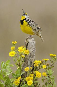 """Meadowlark - found an orphan chick - lost most of his fuzz and is growing real feathers - still stumbles around when trying to walk - he can flap his wings like mad, but can't fly yet -  feeding him cat food, boiled eggs and mealworms - eats like a horse - jumps up and down when he sees food - likes to sleep in the palm of your hand - he seems to think the out of doors is """"big"""" - does a convincing imitation of an eagle when he's trying to look tough  : )"""