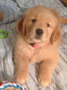 Golden Retrievers puppies for sale - Orland Park, IL - GALLERY