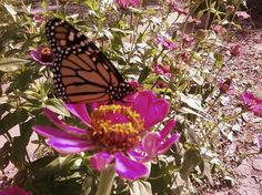 flock of Zinnias and a butterfly