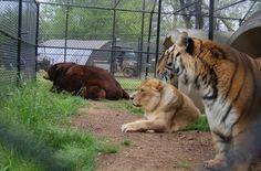lion-tiger-and-bear-bffs-2.jpg
