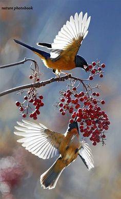 Beautiful birds eating berrys