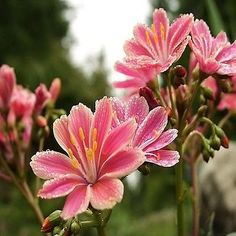 20+ Lewisia Sunset Strain Flower Seeds ,Under The Sun Seeds