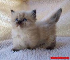 Munchkin kitty!!