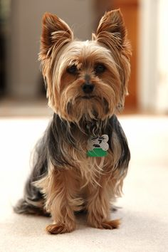 81 Best Yorkies Hairstyles For Tucker Images Cute Dogs Animal
