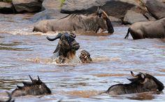 Mientras los antílopes hacen su migración anual, este fue devorado por un cocodrilo. :'(     Photograph: Paolo Torchio / Barcroft Media