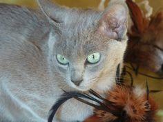 JJ 6 mois et 10 jours : The Look ! Jaya-Jyoti du Bois de Gury, tonkinoise blue, fille de Jean in Blue, tonkinoise blue tabby mink et Fa Rha'On, lilac mink