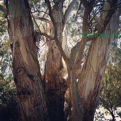 Photo from the Instacanvas gallery of anne20y. Gums at Inglis River Wynyard Tasmania Australia