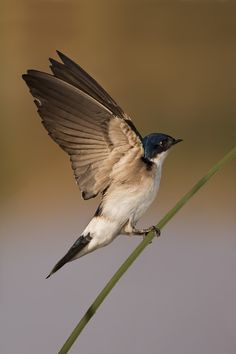 Golondrina Chilena | Chilean Swallow by Daniel Sziklai on 500px