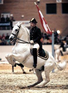 Lippizaners in levade Most Beautiful Animals, Beautiful Horses, Spanish Riding School Vienna, Dressage Horses, War Horses, Lippizaner, Lipizzan, Majestic Horse, White Horses
