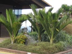The Nikau Palm – Tawapou - tropical garden ideas